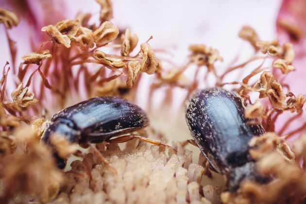 Малинный-жук-и-его-личинки:-что-надо-о-нем-знать