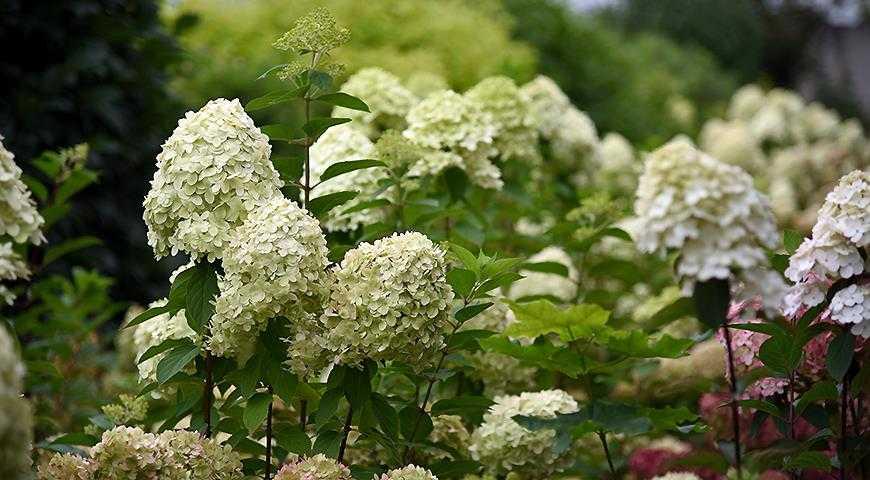 Сорта-гортензии-метельчатой,-самые-красивые-и-устойчивые-для-посадки-в-саду