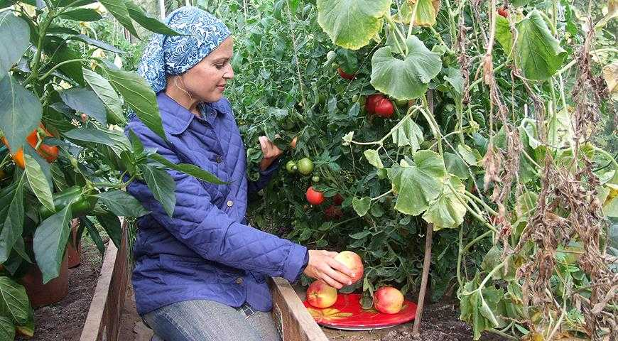 Как-ускорить-созревание-томатов:-советы-Ольги-Вороновой